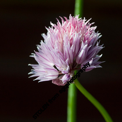 MG 6987 Chive flower