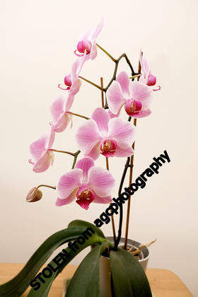 MG 2463 Orchid 1
