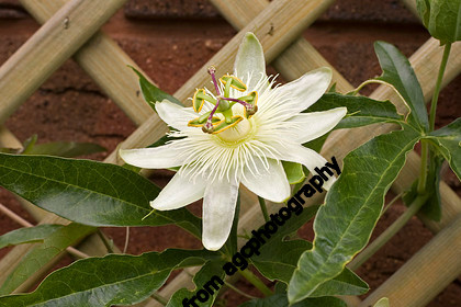 A2I1388 White Passion flower