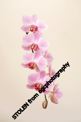 MG 2467 Orchid