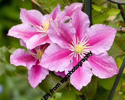 MG 8400 Clematis